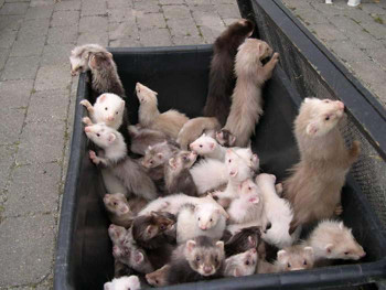 box_of_ferrets